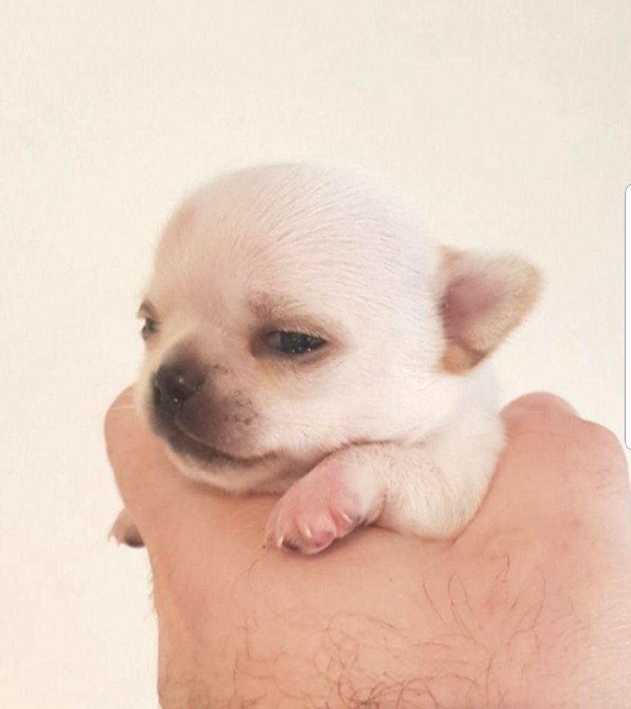De L'empire De Ganesh - Chiot disponible  - Chihuahua