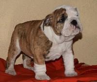 Bulldog Anglais - breeder's cup