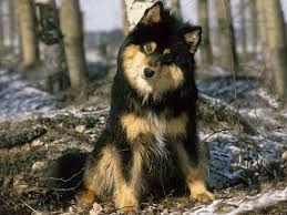 CHIOT - Chien finnois de Laponie