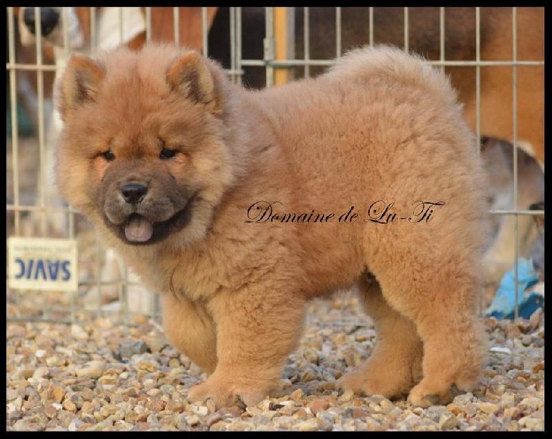 Fabuleux Chiot - Elevage Du Domaine De Lu Ti - eleveur de chiens Chow Chow GW84