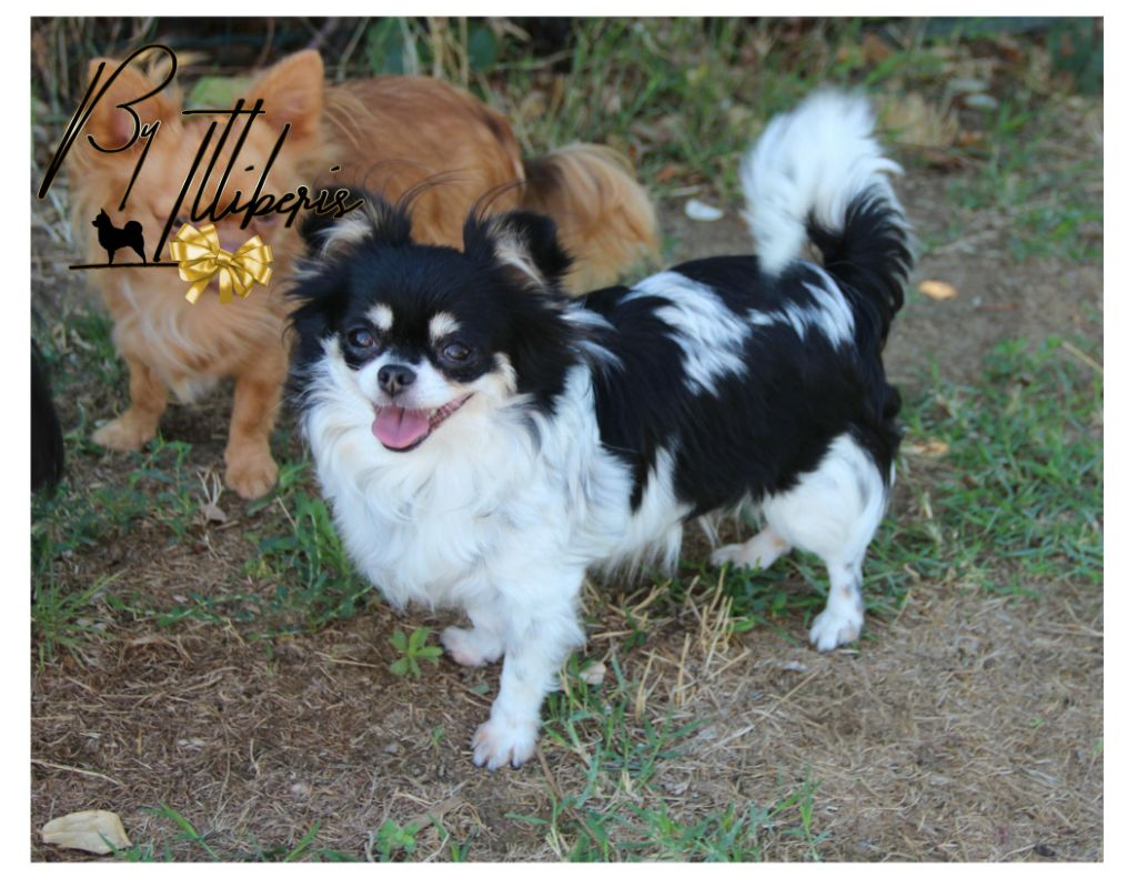 J'vaquita De La Plaine D'illiberis Chihuahua