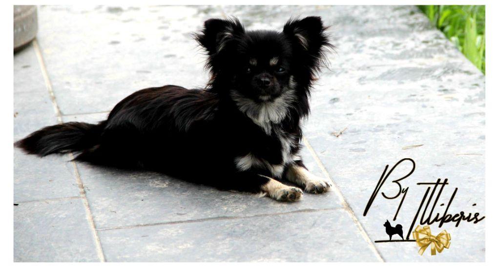 Norah-night De La Plaine D'illiberis Chihuahua