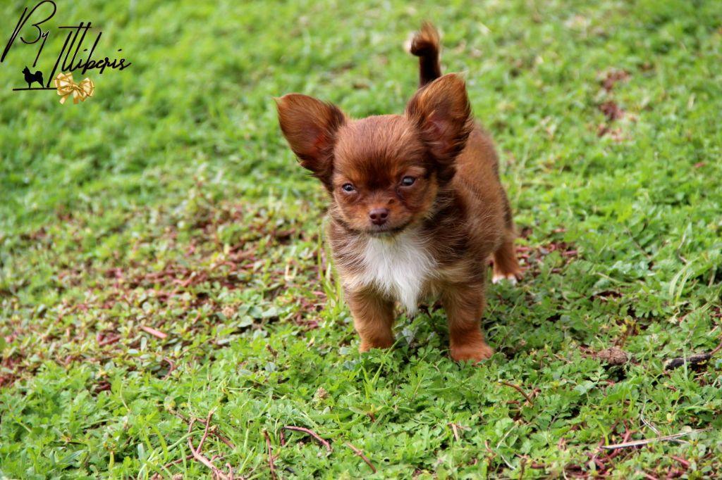De La Plaine D'illiberis - Chiot disponible  - Chihuahua