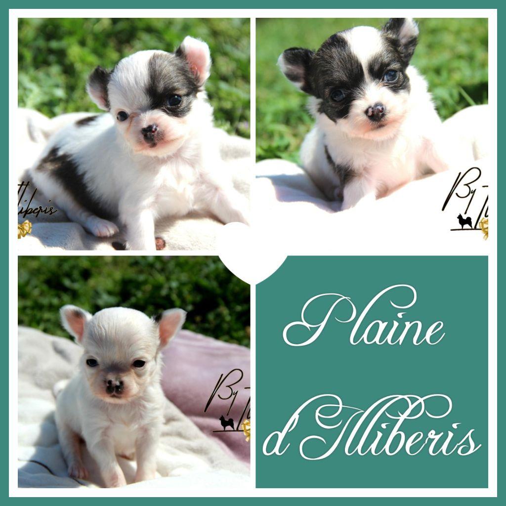 chiot Chihuahua De La Plaine D'illiberis