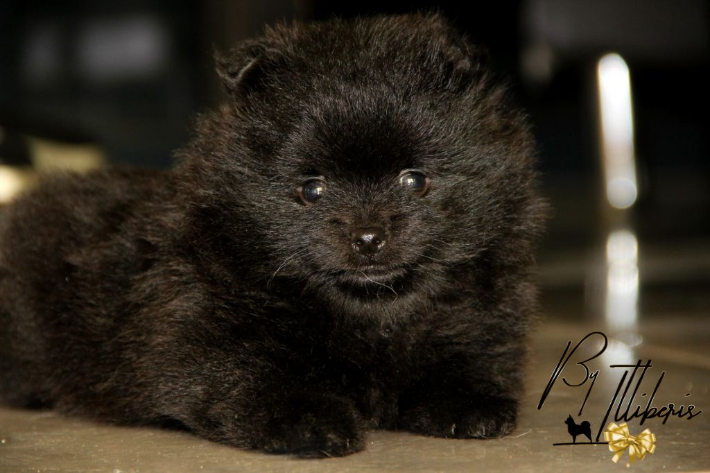 De La Plaine D'illiberis - Chiot disponible  - Spitz allemand