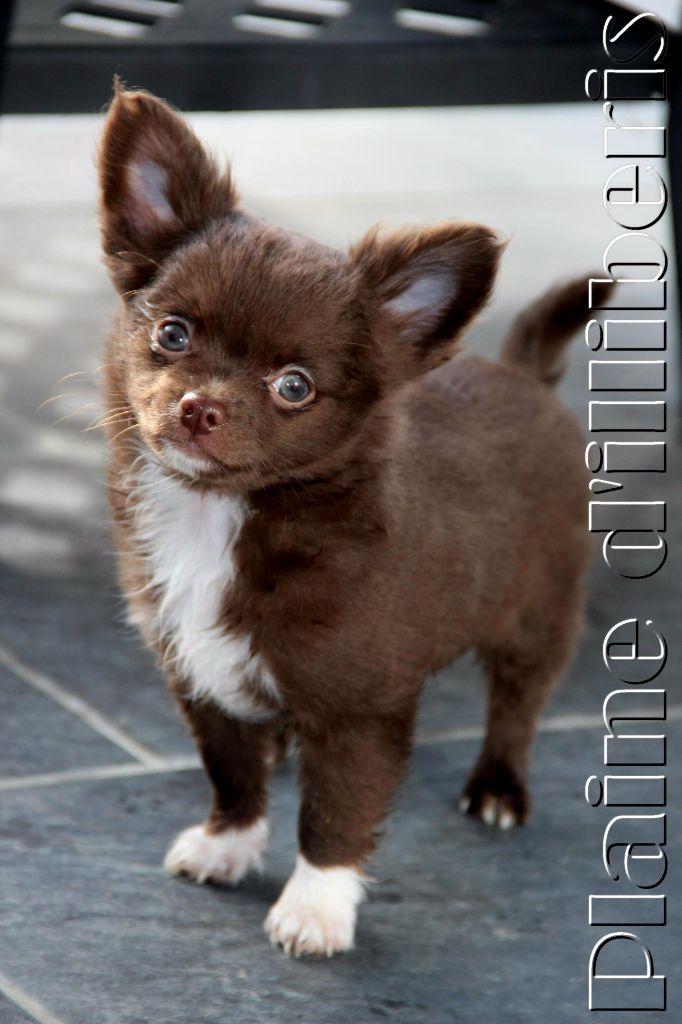 De La Plaine D'illiberis - Chihuahua - Portée née le 22/11/2016