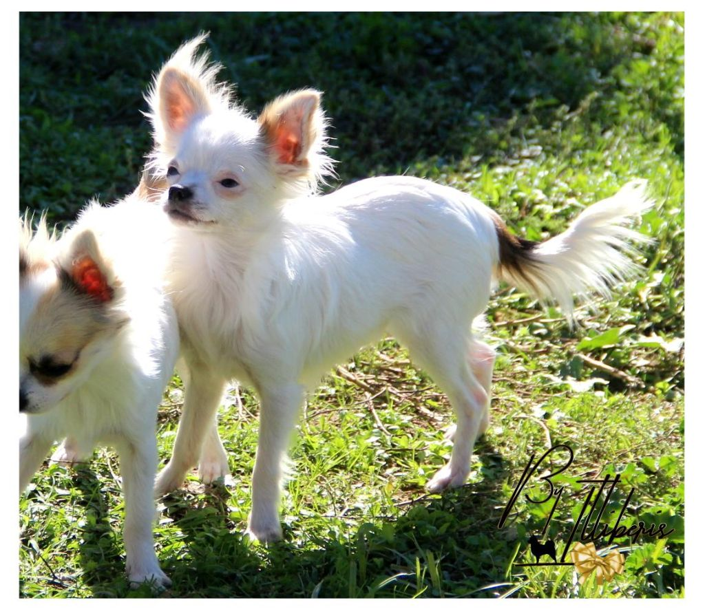 De La Plaine D'illiberis - Chiot disponible  - Chihuahua