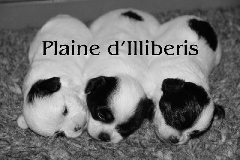 De La Plaine D'illiberis - Chihuahua - Portée née le 14/09/2013