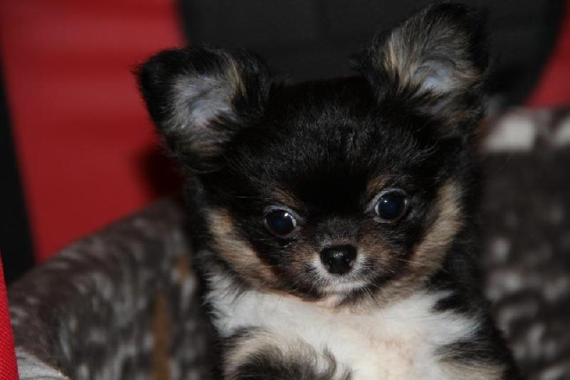 De La Plaine D'illiberis - Chihuahua - Portée née le 09/10/2012