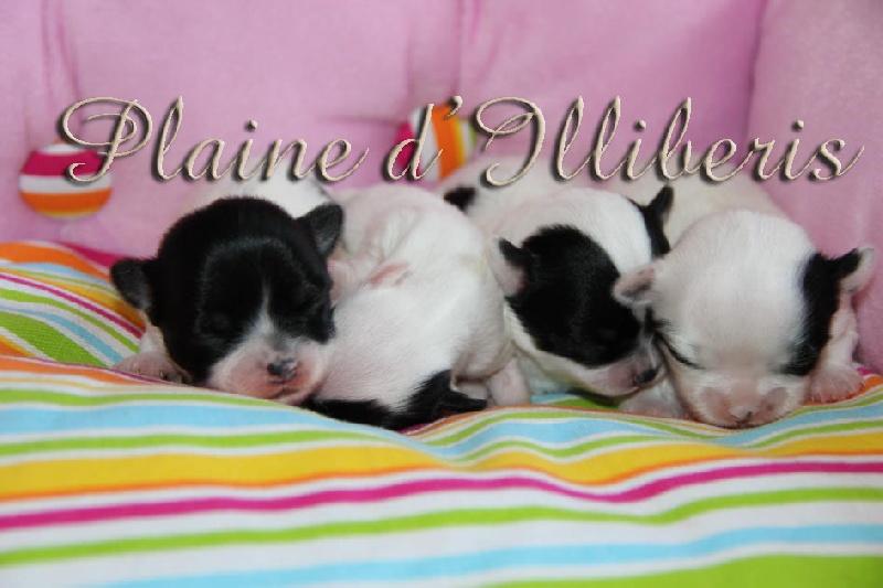 De La Plaine D'illiberis - Chihuahua - Portée née le 17/08/2012