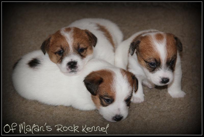 of Malan's Rock - Jack Russell Terrier - Portée née le 04/12/2012