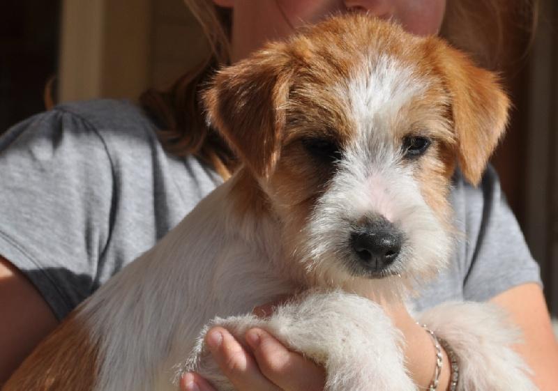 of Malan's Rock - Jack Russell Terrier - Portée née le 28/06/2012