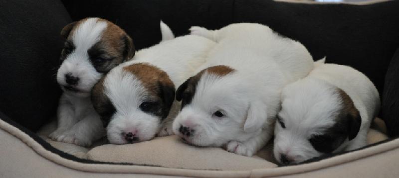 of Malan's Rock - Jack Russell Terrier - Portée née le 21/02/2012