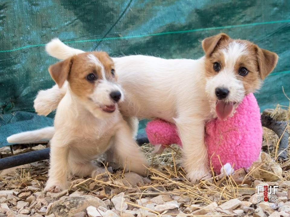 chiot Jack Russell Terrier of Malan's Rock