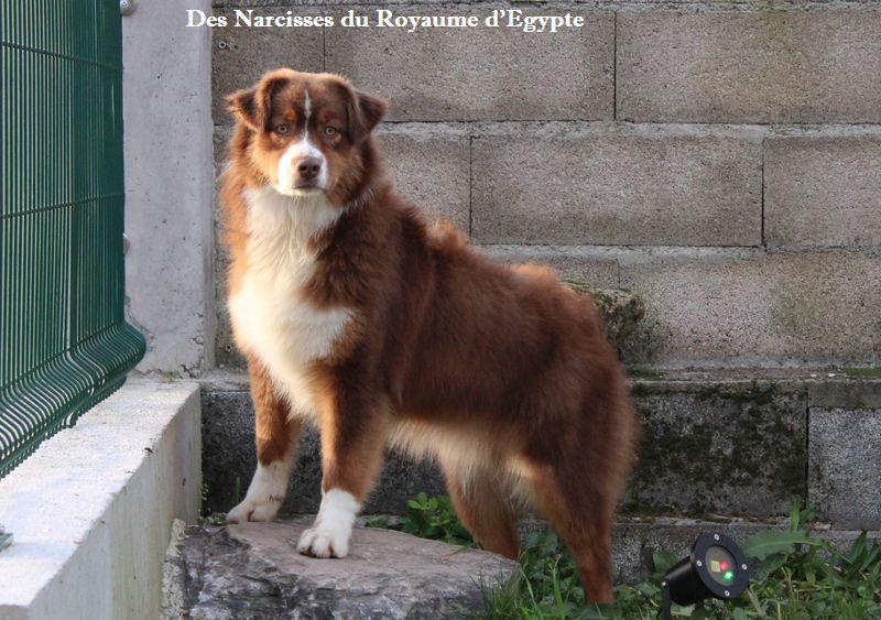 Pompom girl Des Narcisses Du Royaume D'egypte