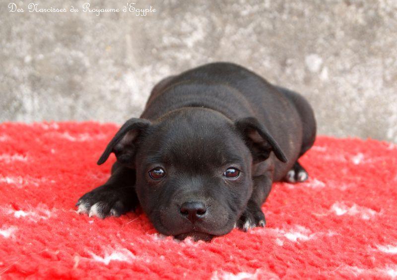 Des Narcisses Du Royaume D'egypte - Chiot disponible  - Staffordshire Bull Terrier