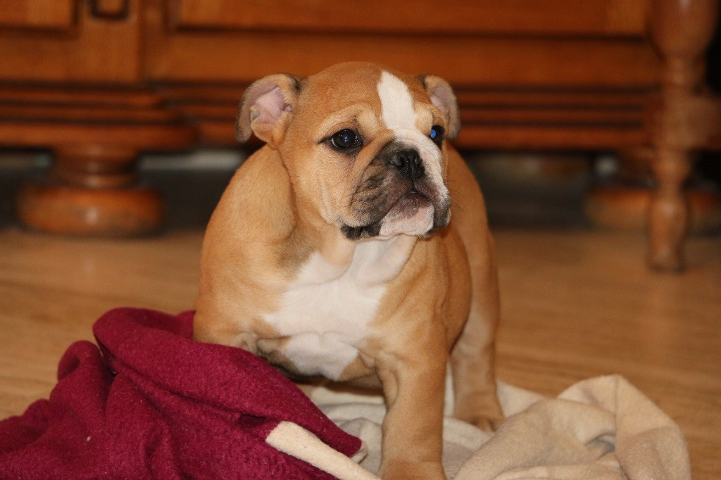 Madd'yz Dog - Chiot disponible  - Bulldog Anglais