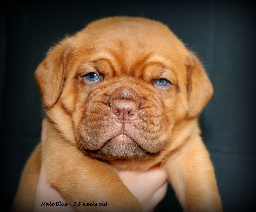 Madd'yz Dog - Chiot disponible  - Dogue de Bordeaux