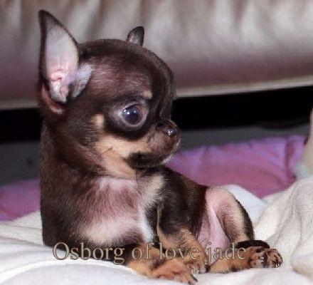 O'sborg Of Love - Chihuahua - Portée née le 06/01/2014