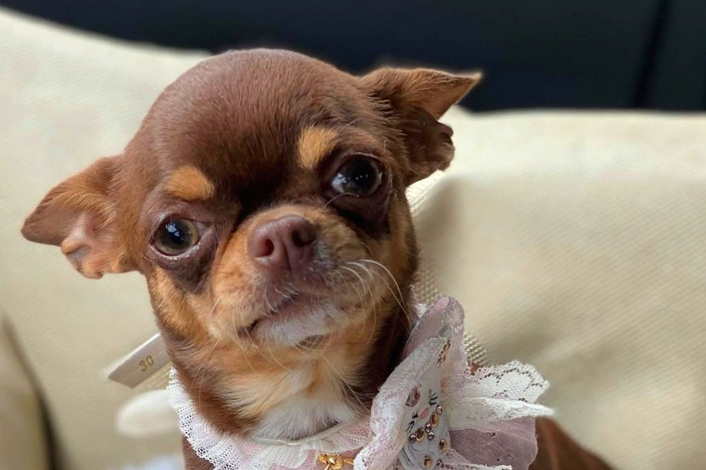 chiot Chihuahua O'sborg Of Love