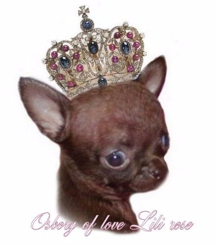 O'sborg Of Love - Chihuahua - Portée née le 24/07/2014