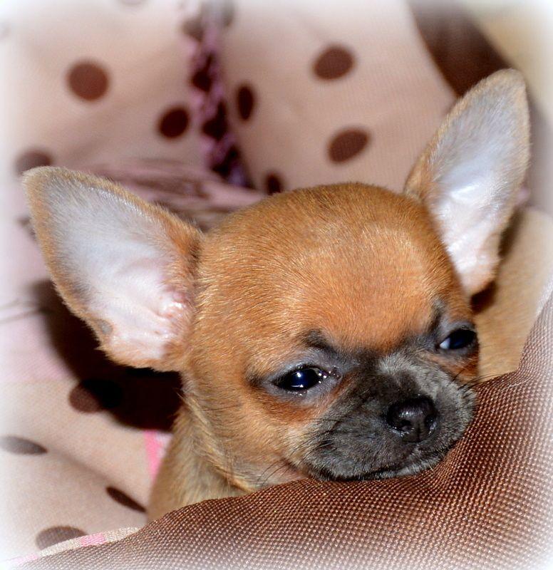 O'sborg Of Love - Chiot disponible  - Chihuahua