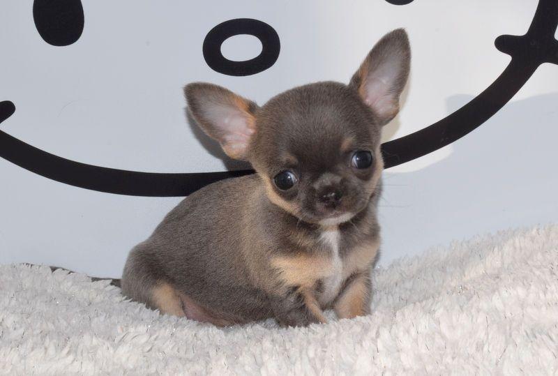 O'sborg Of Love - Chihuahua - Portée née le 01/11/2019