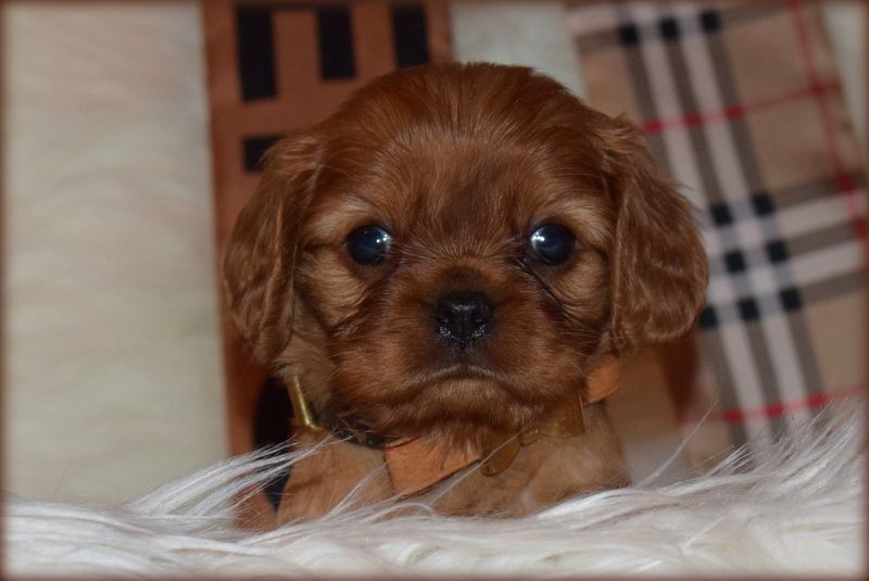 O'sborg Of Love - Chiot disponible  - Cavalier King Charles Spaniel