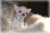 O'sborg Of Love - Chihuahua - Portée née le 16/11/2019