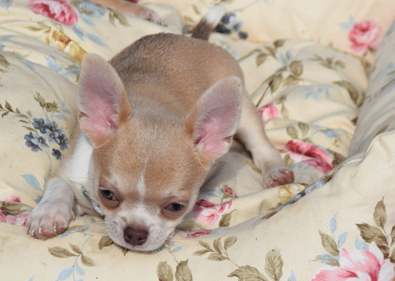 O'sborg Of Love - Chiot disponible  - Chihuahua
