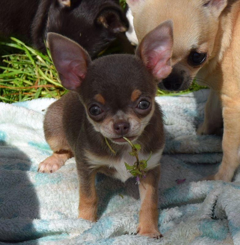OH MY ............ - Chihuahua