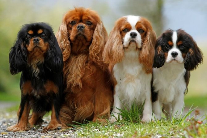 The most common health problems to watch for in these 8 popular dog cavalier king charles spaniel altavistaventures Image collections