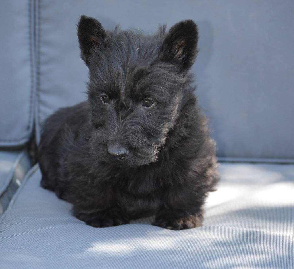 CHIOT - Scottish Terrier