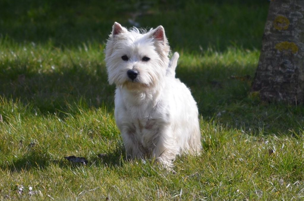 Accueil Elevage Du Domaine D Alexan Eleveur De Chiens West Highland White Terrier