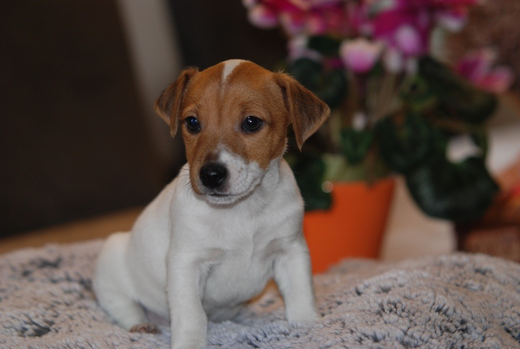 CHIOT - Jack Russell Terrier