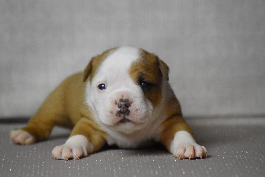 des perles noires de Beaume - Chiot disponible  - Bulldog continental