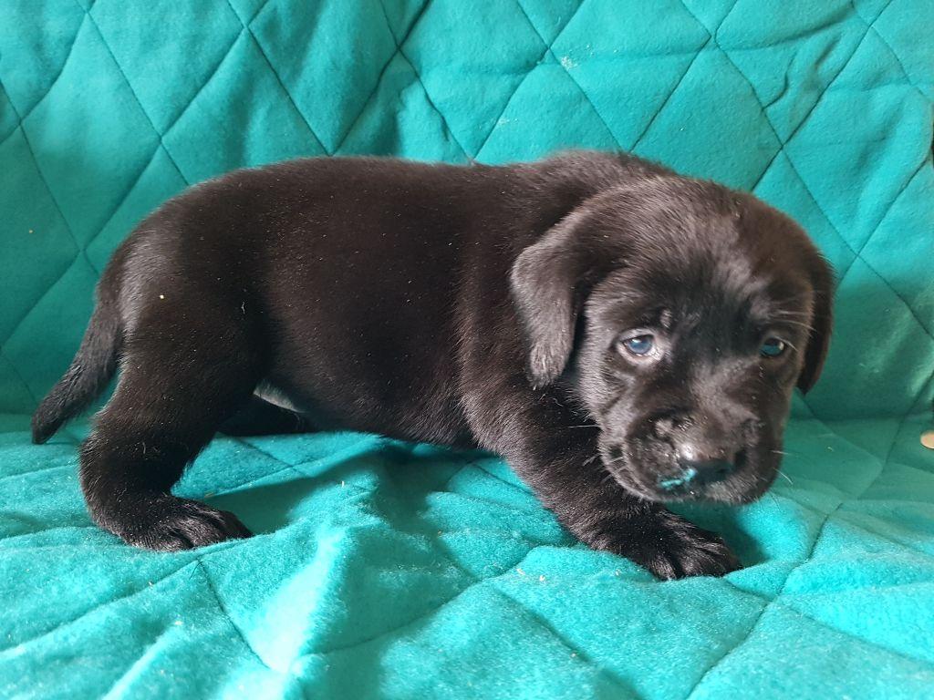 CHIOT - Labrador Retriever