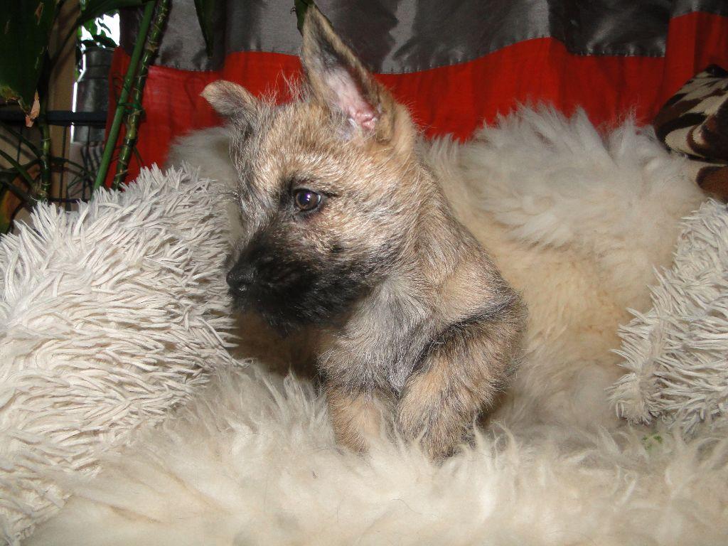 des feux follets de la pataudière - Chiot disponible  - Cairn Terrier