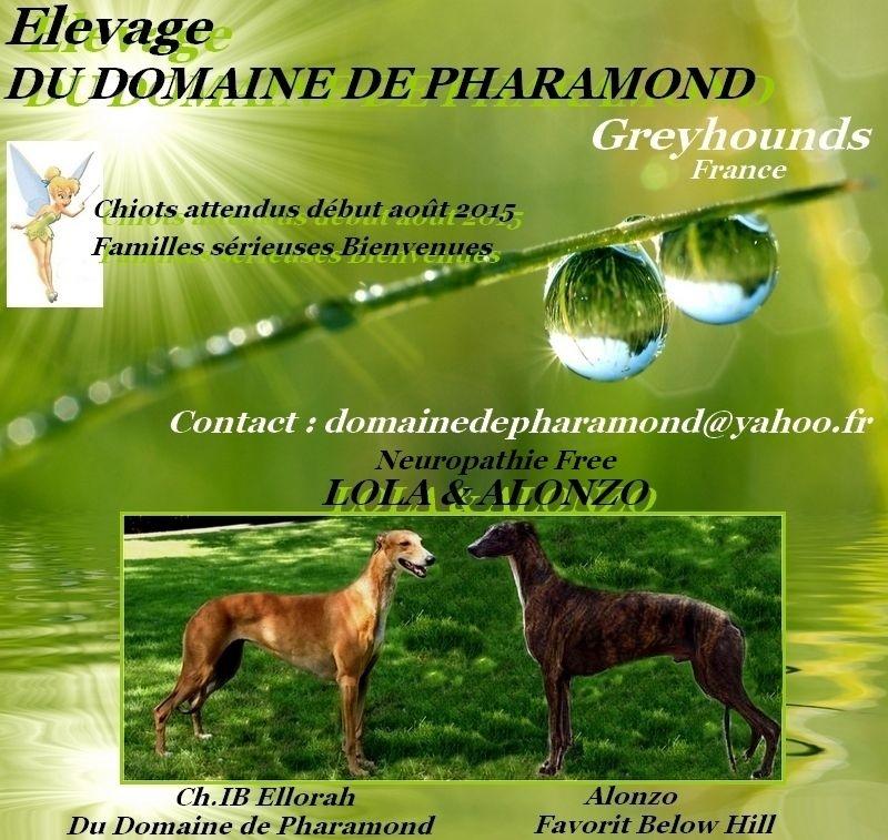 Du domaine de pharamond - Greyhound - Portée née le 01/08/2015