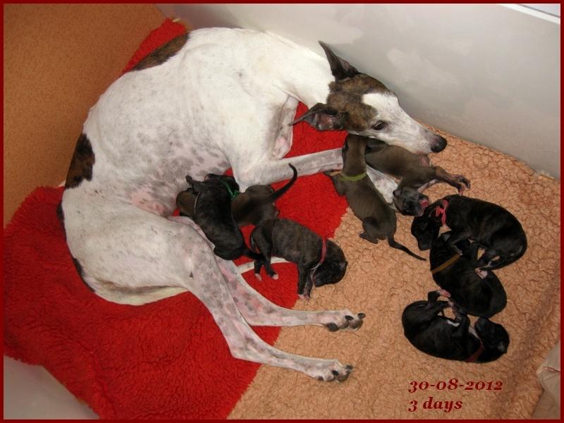 Du domaine de pharamond - Greyhound - Portée née le 27/08/2012