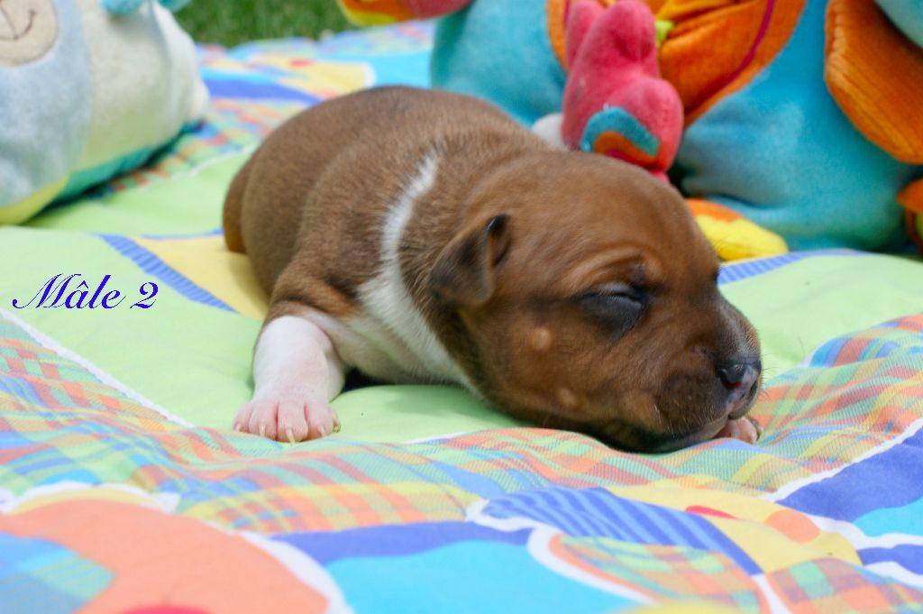 chiot elevage du domaine de babylone eleveur de chiens staffordshire bull terrier. Black Bedroom Furniture Sets. Home Design Ideas