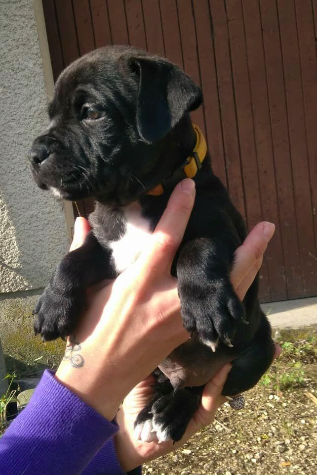 MALE 1 - Staffordshire Bull Terrier
