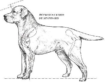 Standard du Labrador Retriever