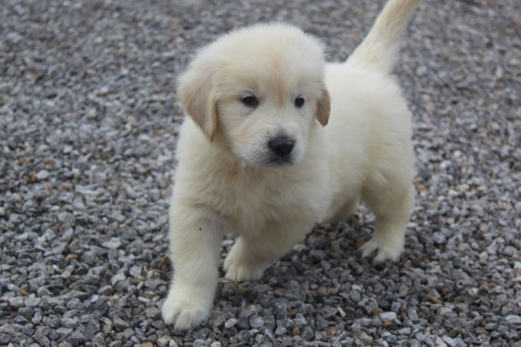 CHIOT - Golden Retriever