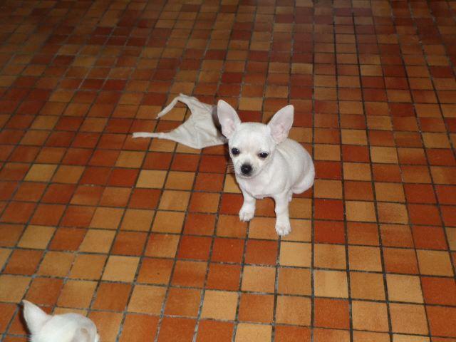 De Quentin De La Tour - Chiot disponible  - Chihuahua