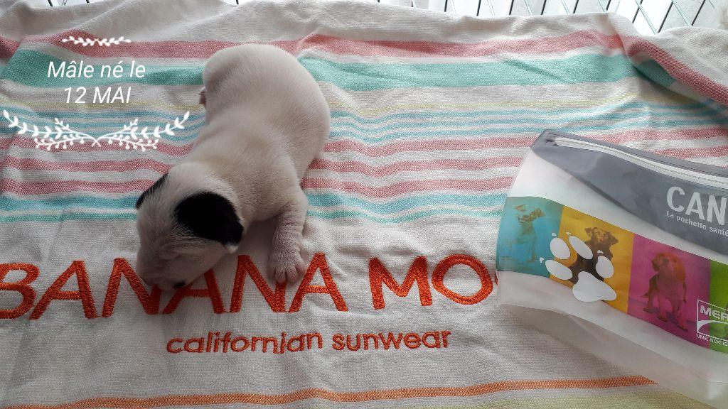 Du champ de l'ormeau - Jack Russell Terrier - Portée née le 11/05/2018
