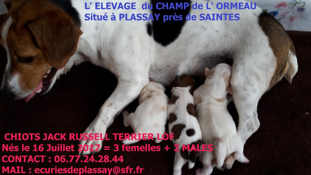 Du champ de l'ormeau - Chiot disponible  - Jack Russell Terrier