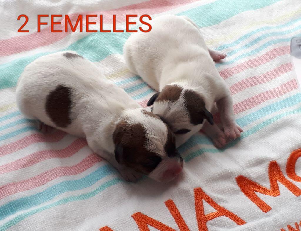 Du champ de l'ormeau - Jack Russell Terrier - Portée née le 18/05/2018