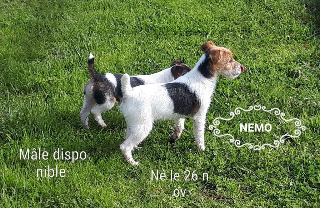 Du champ de l'ormeau - Chiot disponible  - Jack Russell Terrier