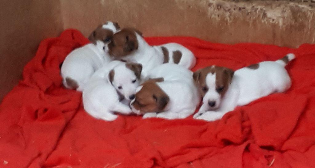 Du champ de l'ormeau - Jack Russell Terrier - Portée née le 15/05/2018